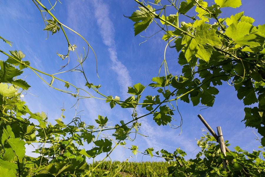 Côte-Rotie La Turque Guigal vineyard